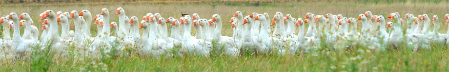 polish-goose2